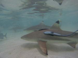 Bermain bersama hiu