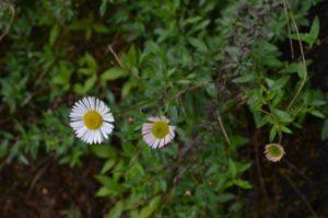 Bunga Prau