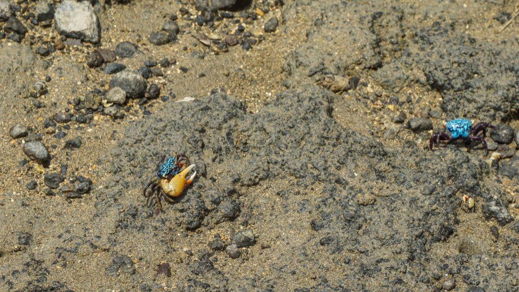 Kepiting warna warni dan capit besar